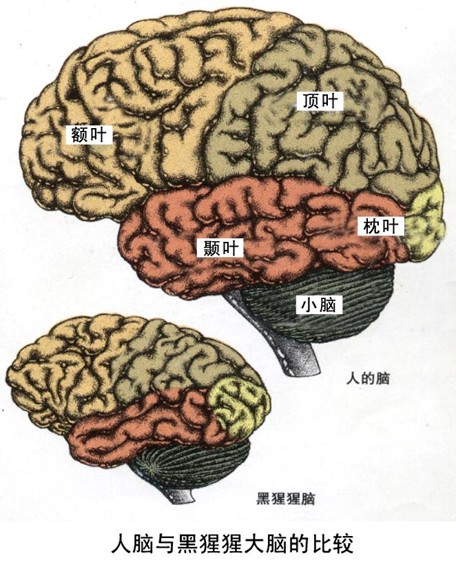 发表新文章 回覆此主题 阅览: 31      而单凭黑猩猩的大脑结构 其实图片