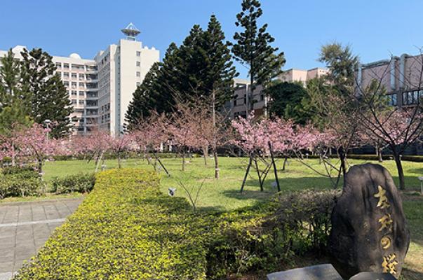 十年照顧有成 中央大學河津櫻浪漫綻放-土木工程學系